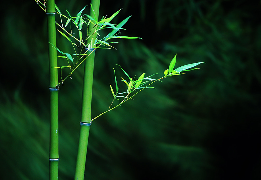 Photograph Bamboo in the Wind  by dongfeng wu  on 500px