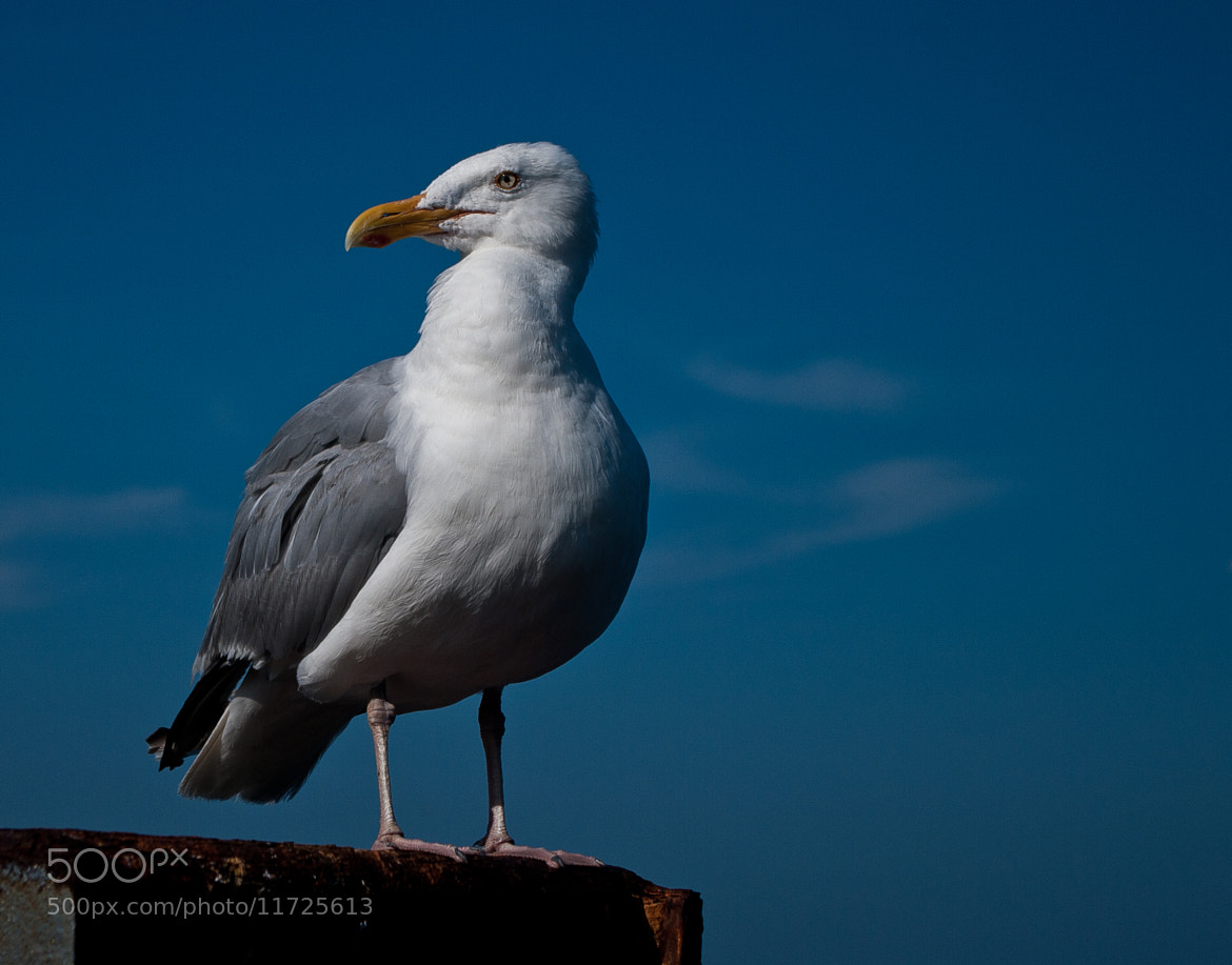 Photograph Chatham Gull by Jay B. Wilson on 500px