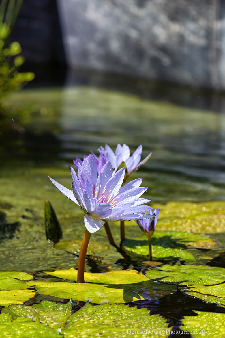 Photograph Drops on the Water Lily by Denise Dewire on 500px