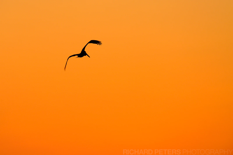 Photograph Pelican Sunset by Richard Peters on 500px