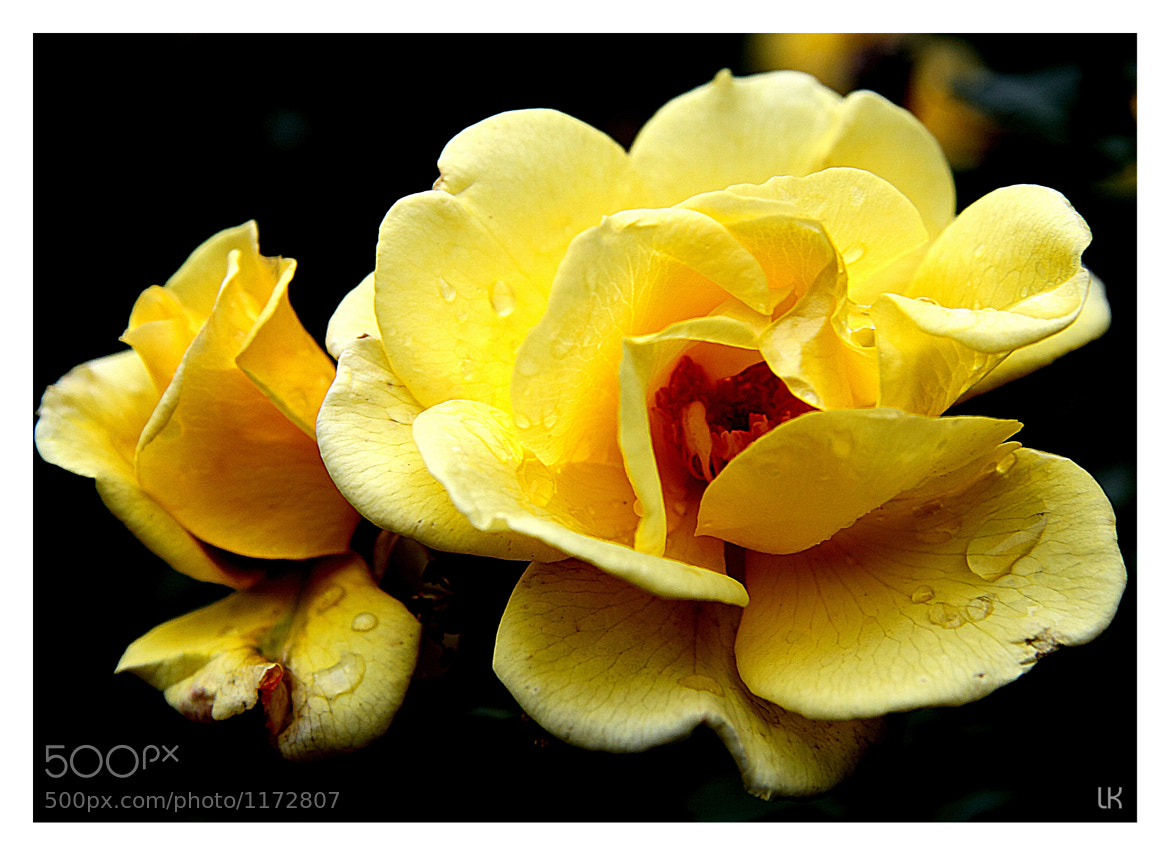 Photograph Yellow Rose by Lars Koke on 500px