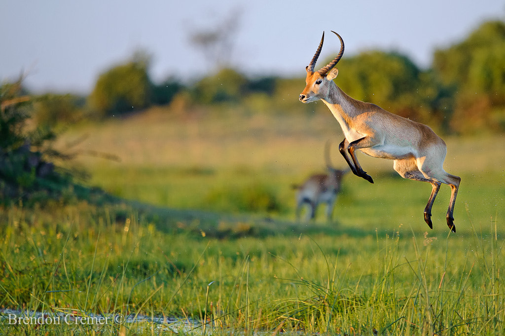 Photograph Flying Letchwe by Brendon Cremer on 500px
