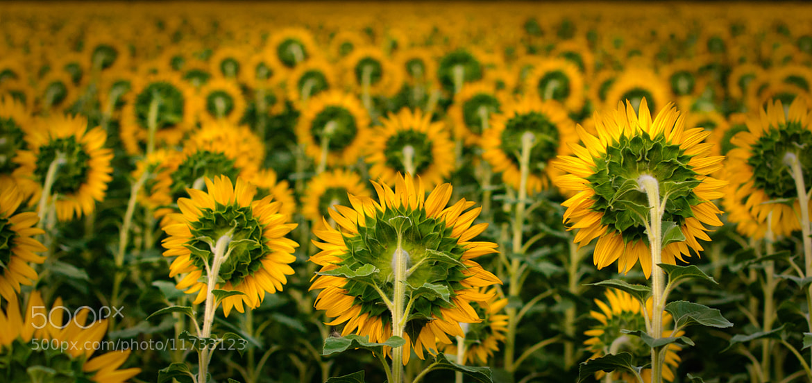 Photograph Sunflower's army by Ilona Imagine on 500px