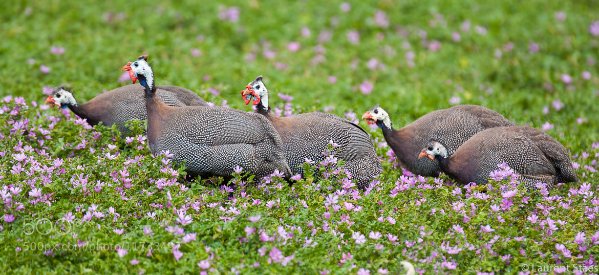 Photograph Helmeted Guineafowl by Laurent Staes on 500px