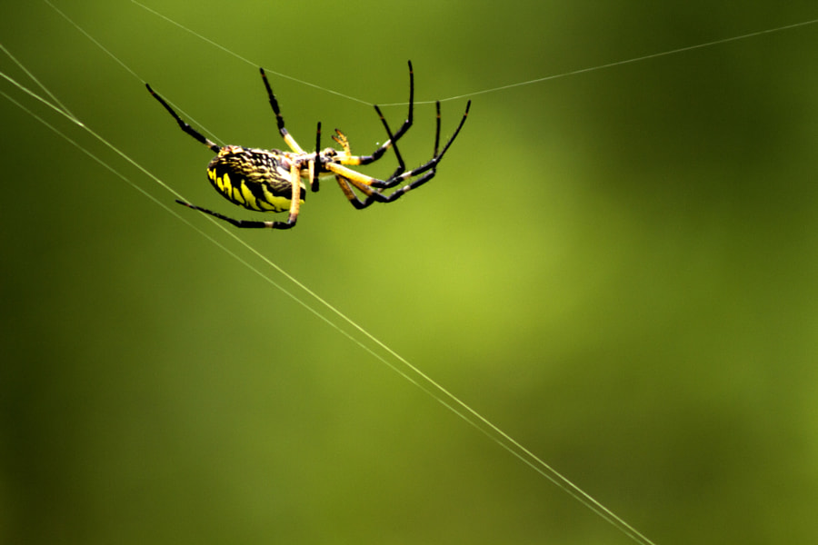 Photograph Garden Spider by Jeff Carter on 500px
