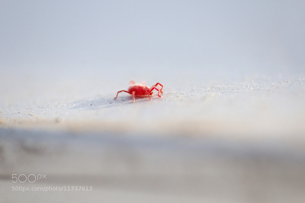 Photograph red mite by Kayman Studio on 500px