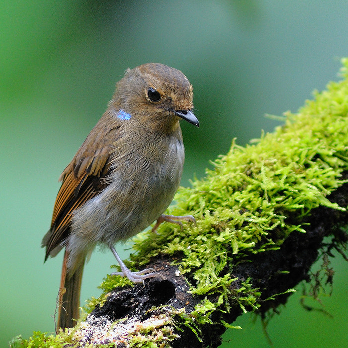 Photograph Small Niltava ( Female ) by Poo Pix on 500px