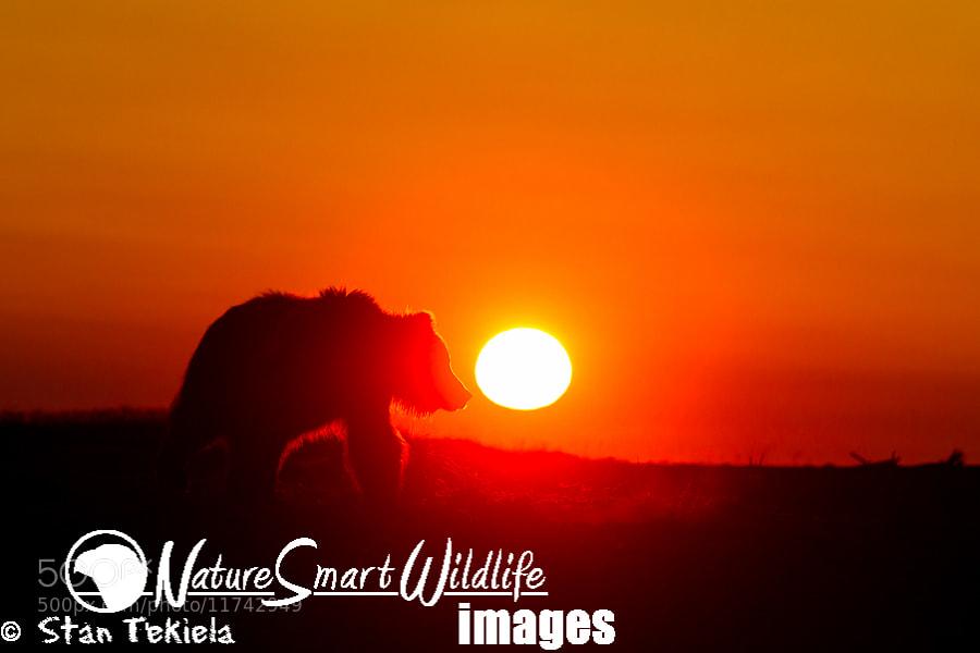 Photograph Brown Bear sunrise by Stan Tekiela on 500px