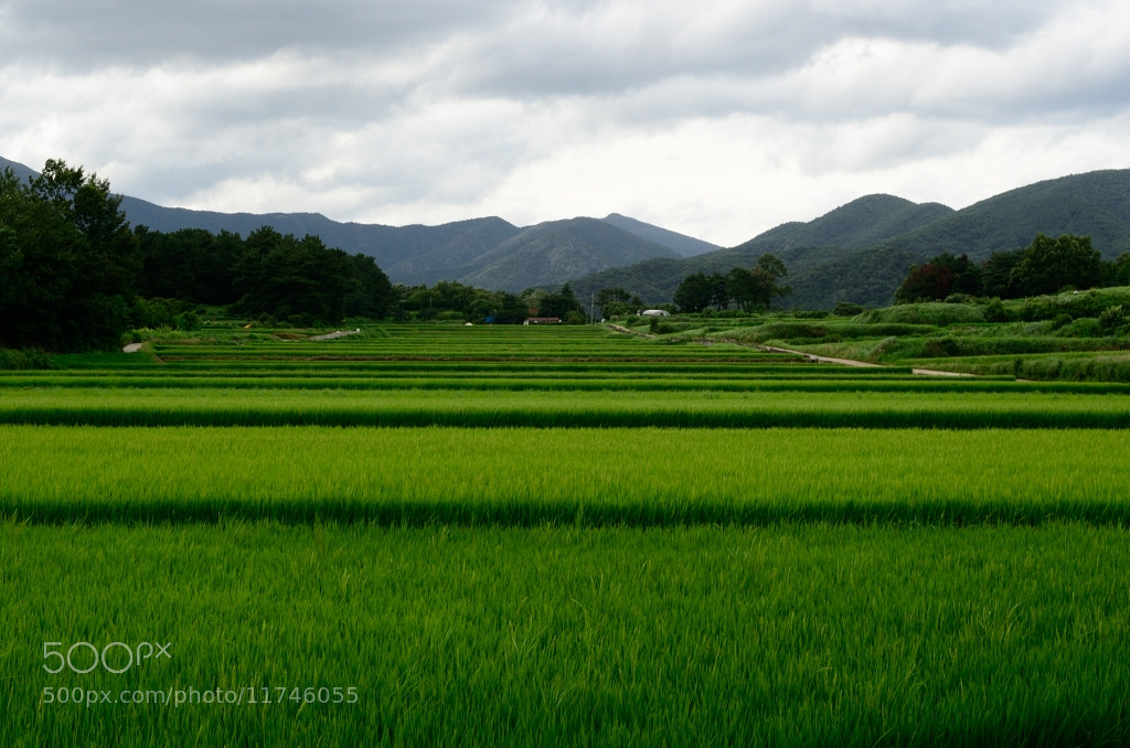 Photograph The green rice fields. by Kevin Son on 500px