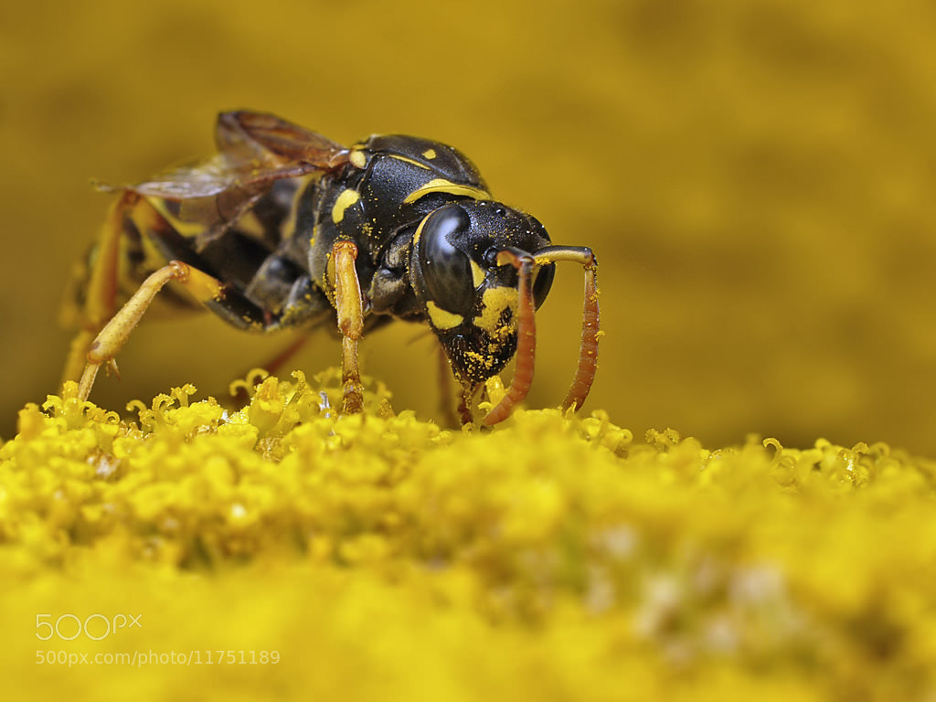 Photograph Wasp by Michel L'HUILLIER on 500px