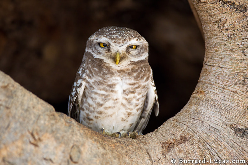 A spotted owlet in India. This character has attitude! He has just hopped out of his hollowed-out tree to survey us suspiciously!