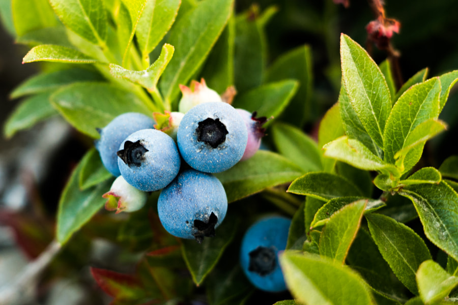 Wild Maine Blueberries by Adam Morris on 500px.com
