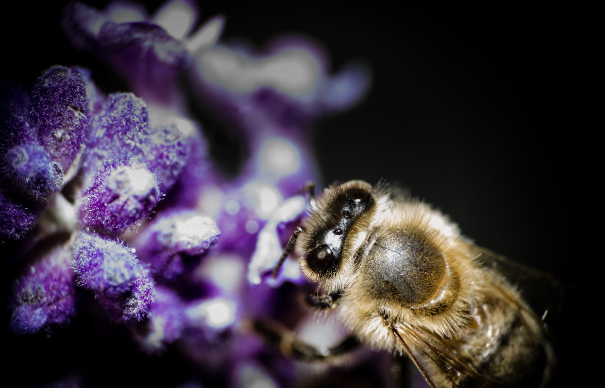 Photograph Lavender and the bee by Patrick Szilagyi on 500px