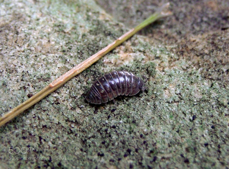 Photograph Pill Bug by Matt Quinn on 500px