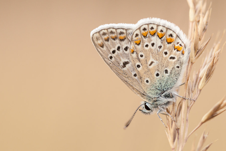 Photograph Common Blue by Hans Woltering on 500px