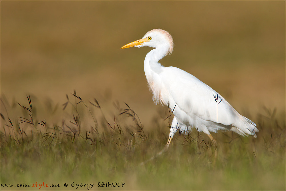 Photograph Western Cattle Egret (Bubulcus ibis) by Gyorgy Szimuly on 500px