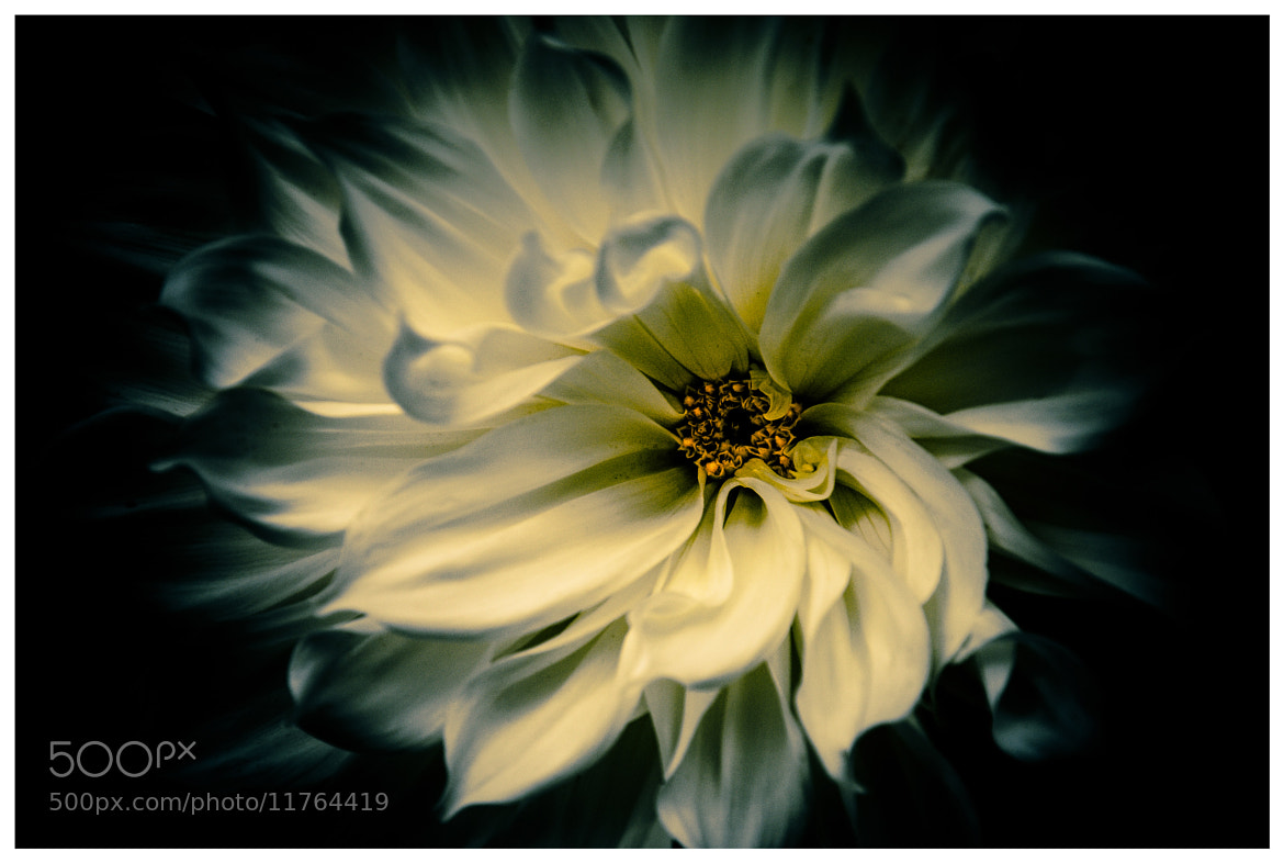 Photograph Yellow Dahlia by Ruud Pothuizen on 500px