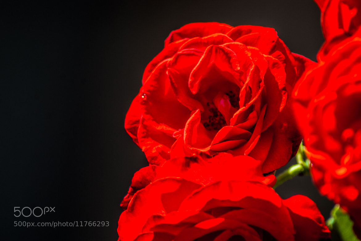 Photograph Roses in red by Stefan Feisthauer on 500px