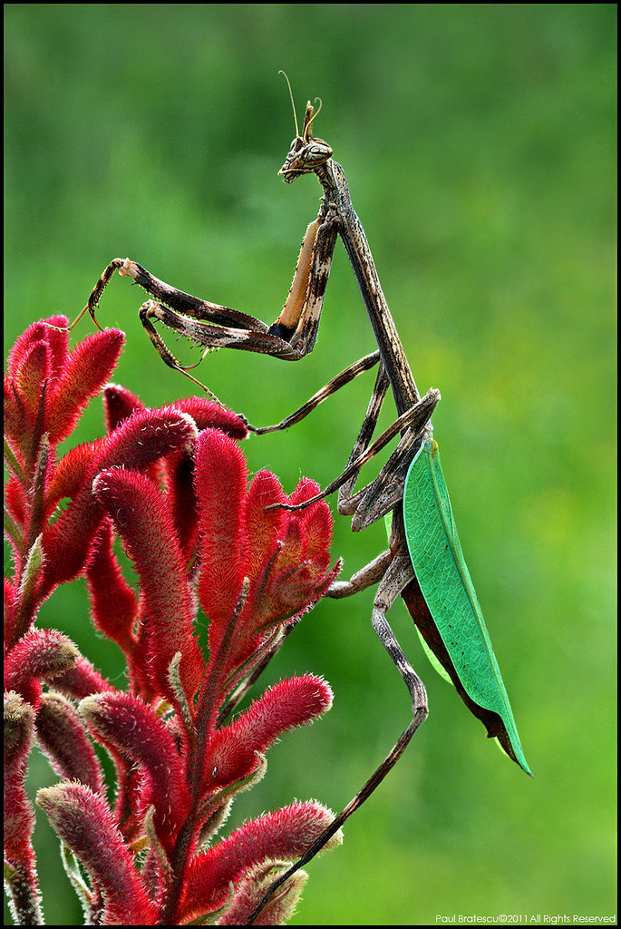 Photograph Unicorn Mantid by Paul Bratescu on 500px