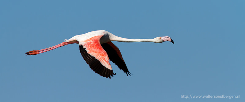 Photograph Greater Flamingo by Walter Soestbergen on 500px