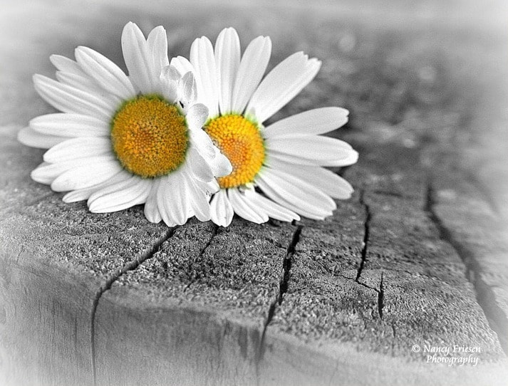 Photograph Daisies  by Nancy Friesen on 500px