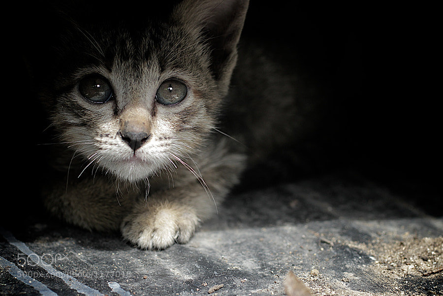 Photograph Fear kitten by Thee Tosayanond on 500px