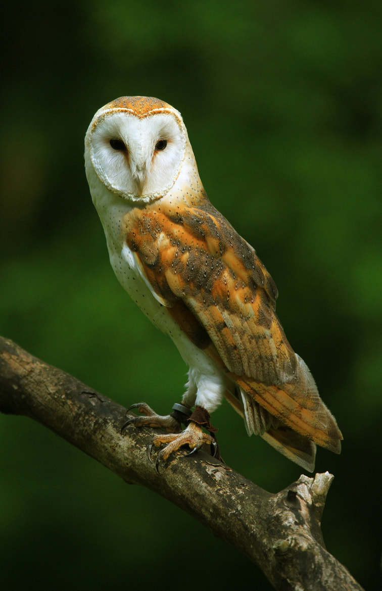 Photograph BARN OWL by Darren  Colello on 500px