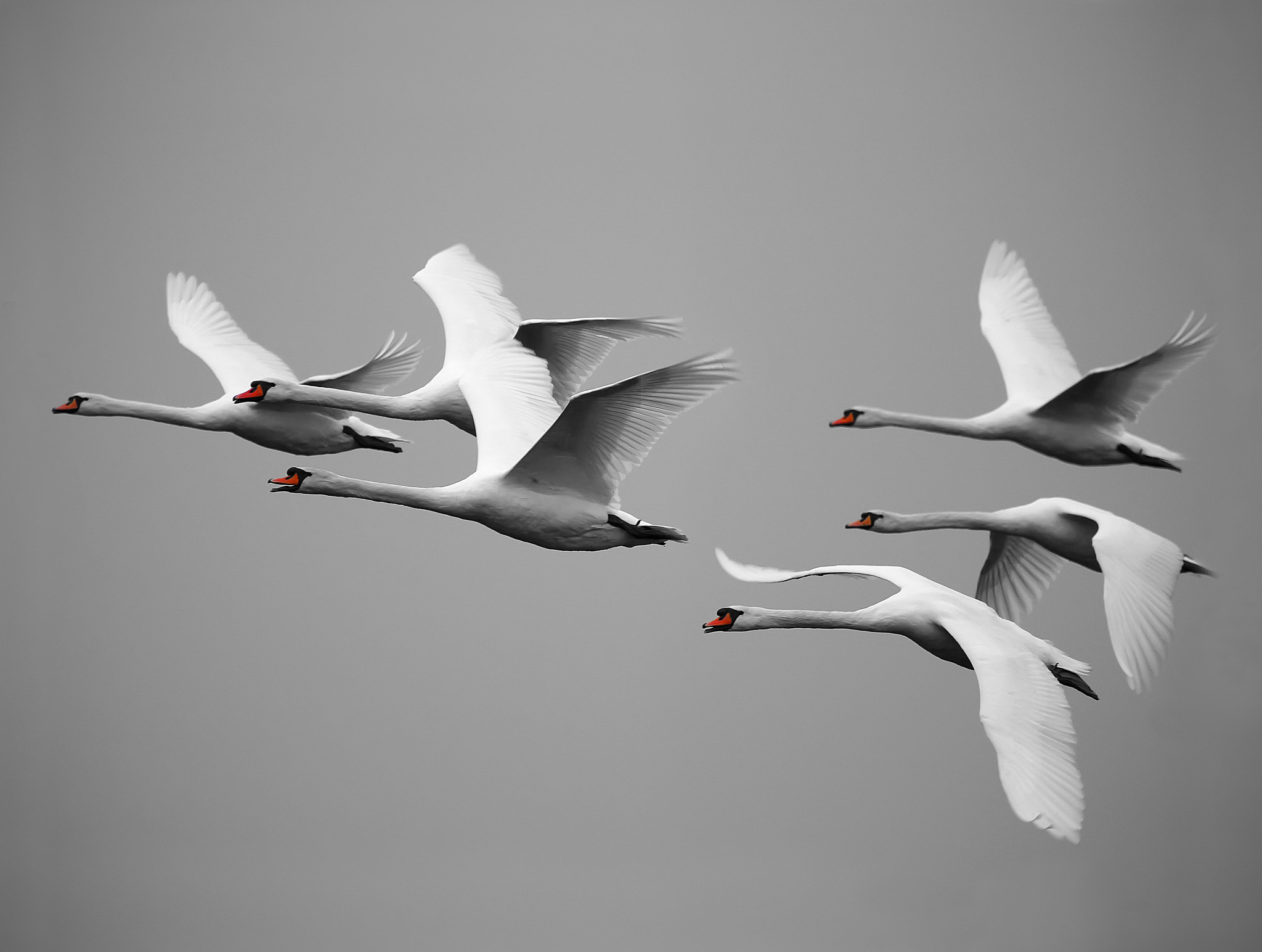 Photograph Swans in flight by Mike Burton Phillipson on 500px