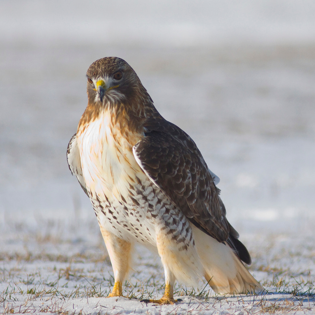 Photograph Red-Tailed Hawk by Phil Armishaw on 500px