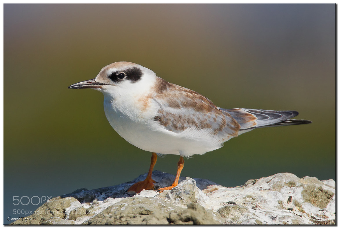 Photograph Young Forster's Tern by Conrad Tan on 500px