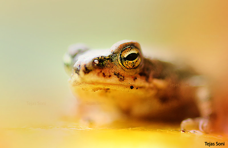 Photograph Baby Frog by Tejas Soni on 500px
