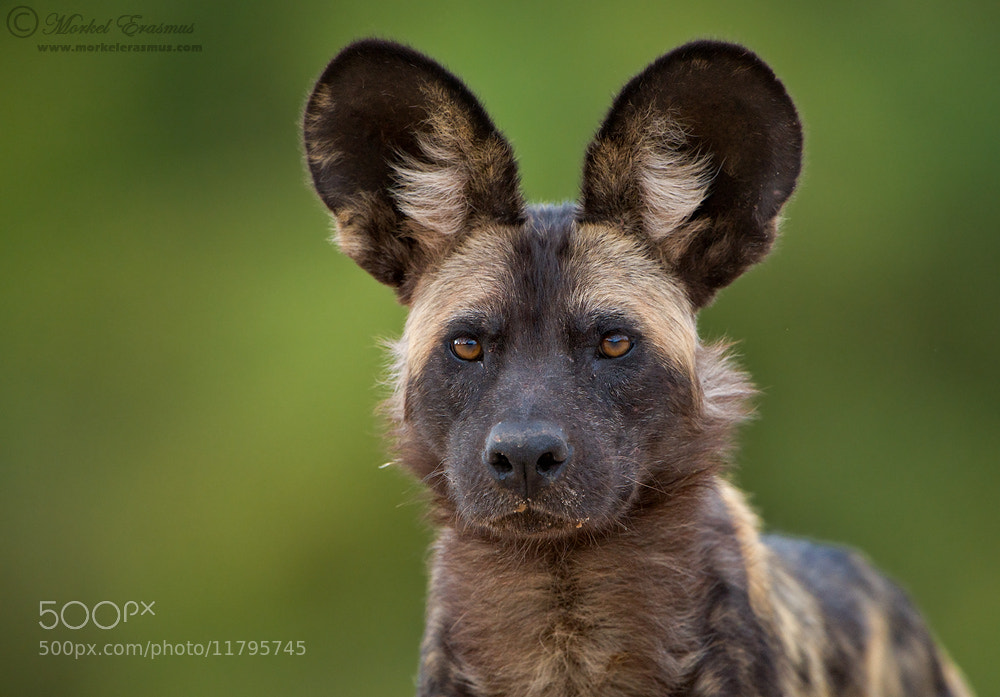 Photograph All Ears by Morkel Erasmus on 500px