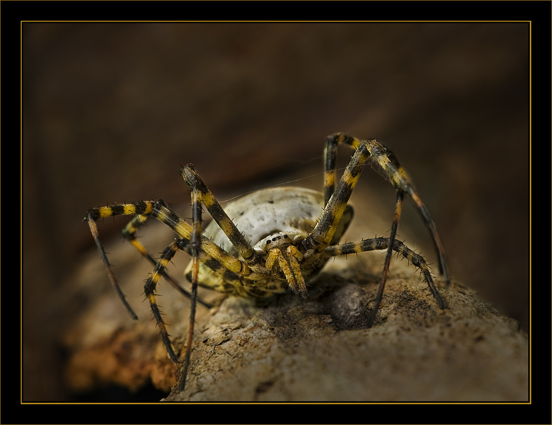 Photograph Argiope  by Paco  Zaragoza on 500px