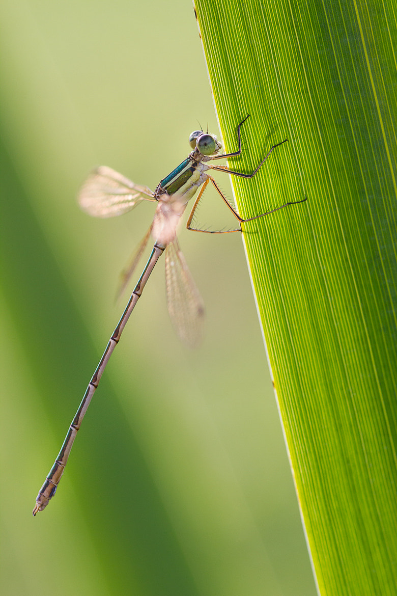 Photograph Damsel. by Pierre Sochard on 500px