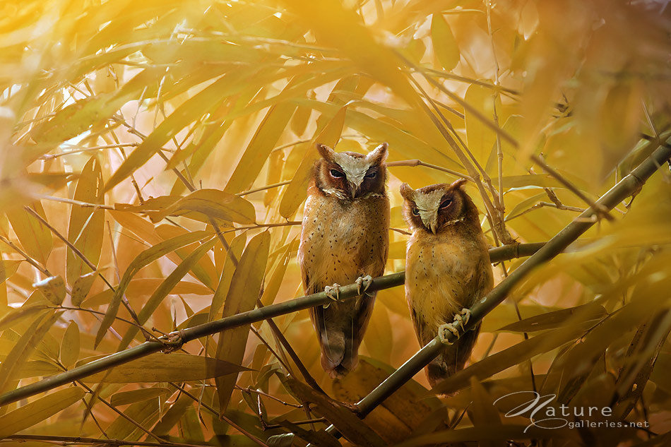 Photograph White-fronted Scops Owl by Sasi - smit on 500px