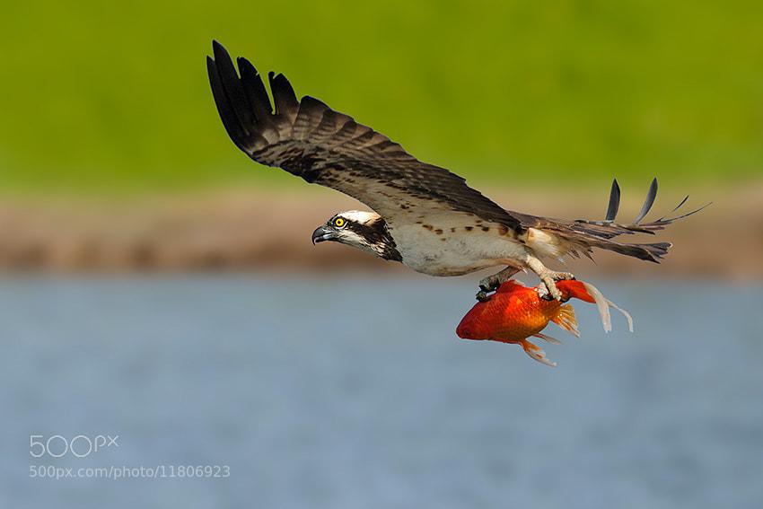 Photograph Osprey by nissim levi on 500px