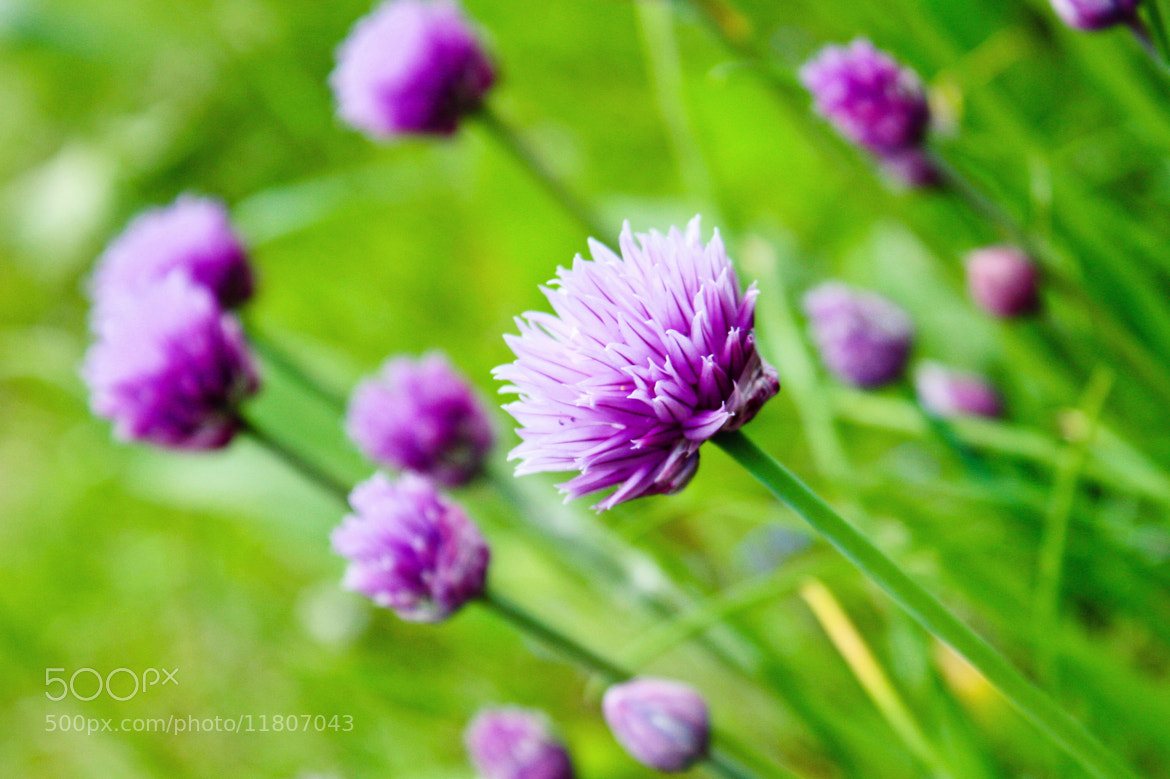 Photograph Chive Flowers by Minna R on 500px