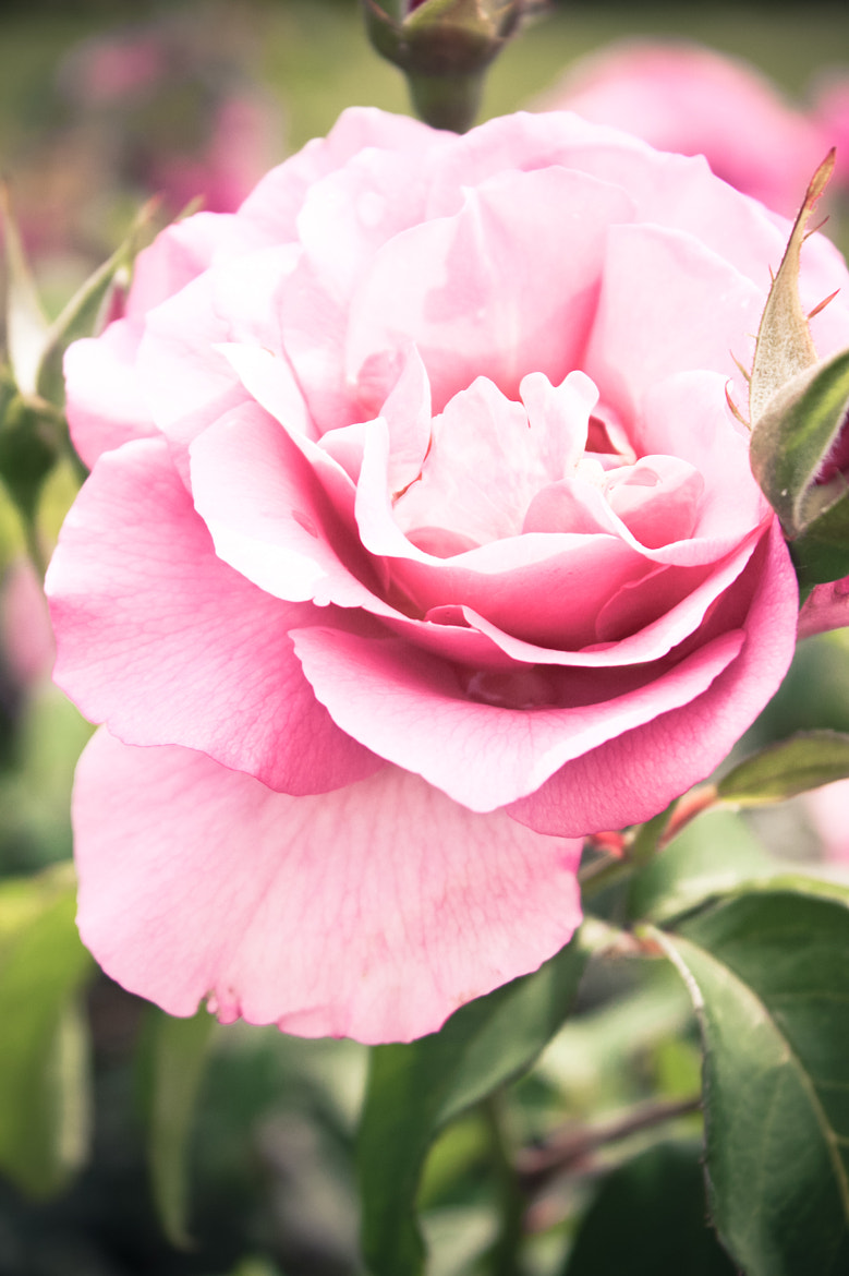 Photograph Pink Rose by Minna R on 500px