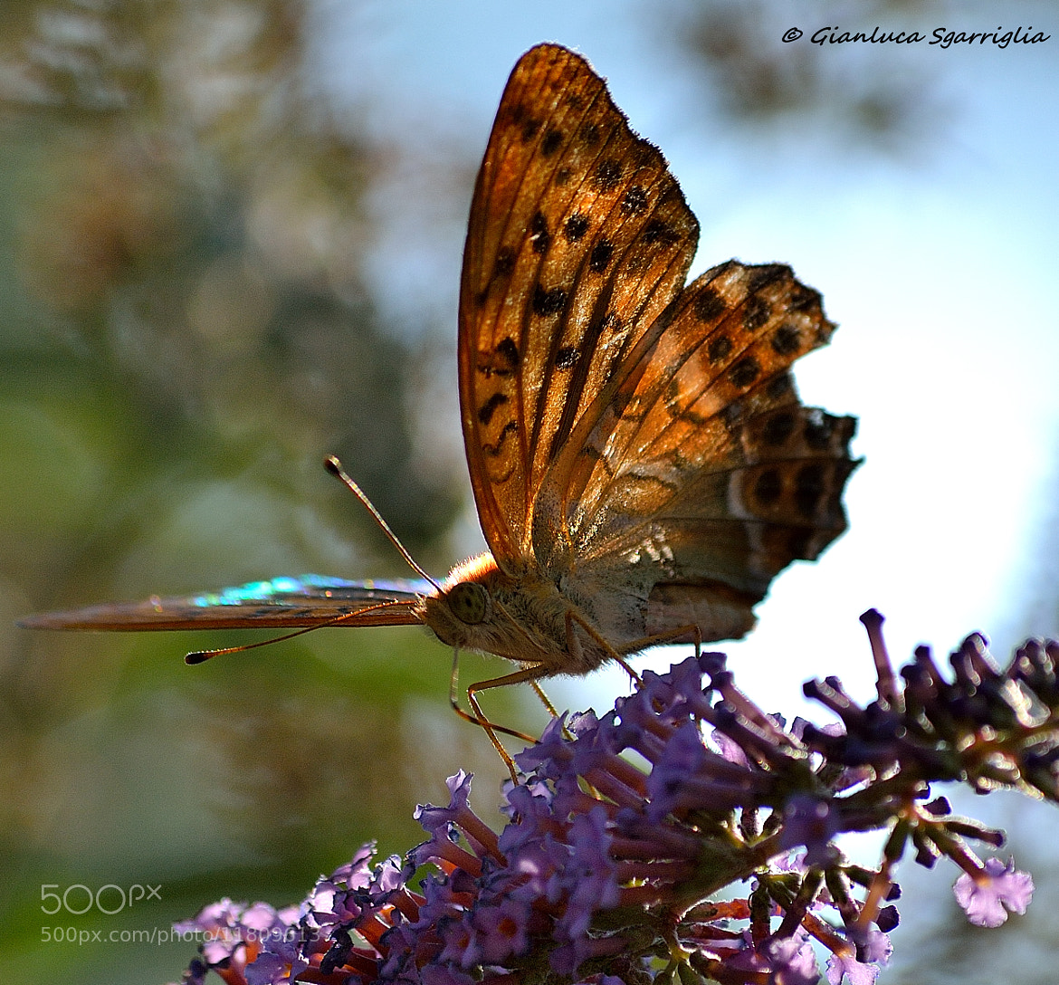 Photograph Butterfly  by Gianluca Sgarriglia on 500px