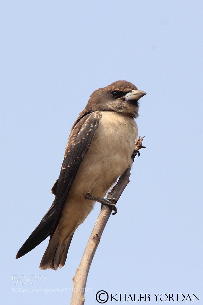 Photograph White-breasted Woodswallow by Khaleb Yordan on 500px