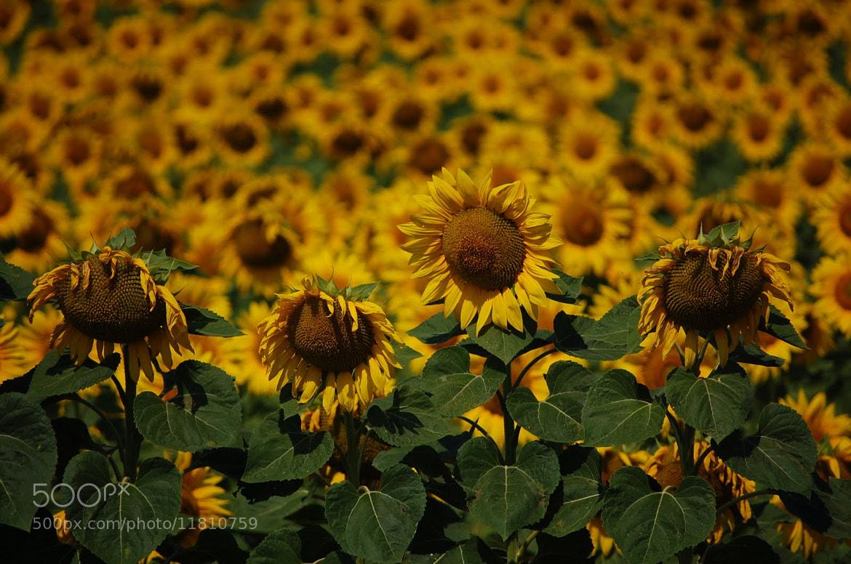 Photograph Sunflowers by Petya Georgieva on 500px