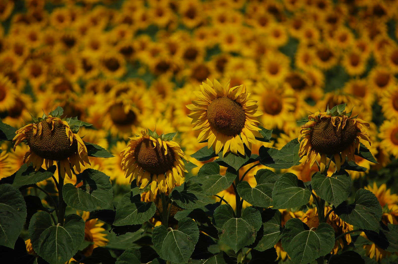 Photograph Sunflowers by Petya Georgieva on 500px