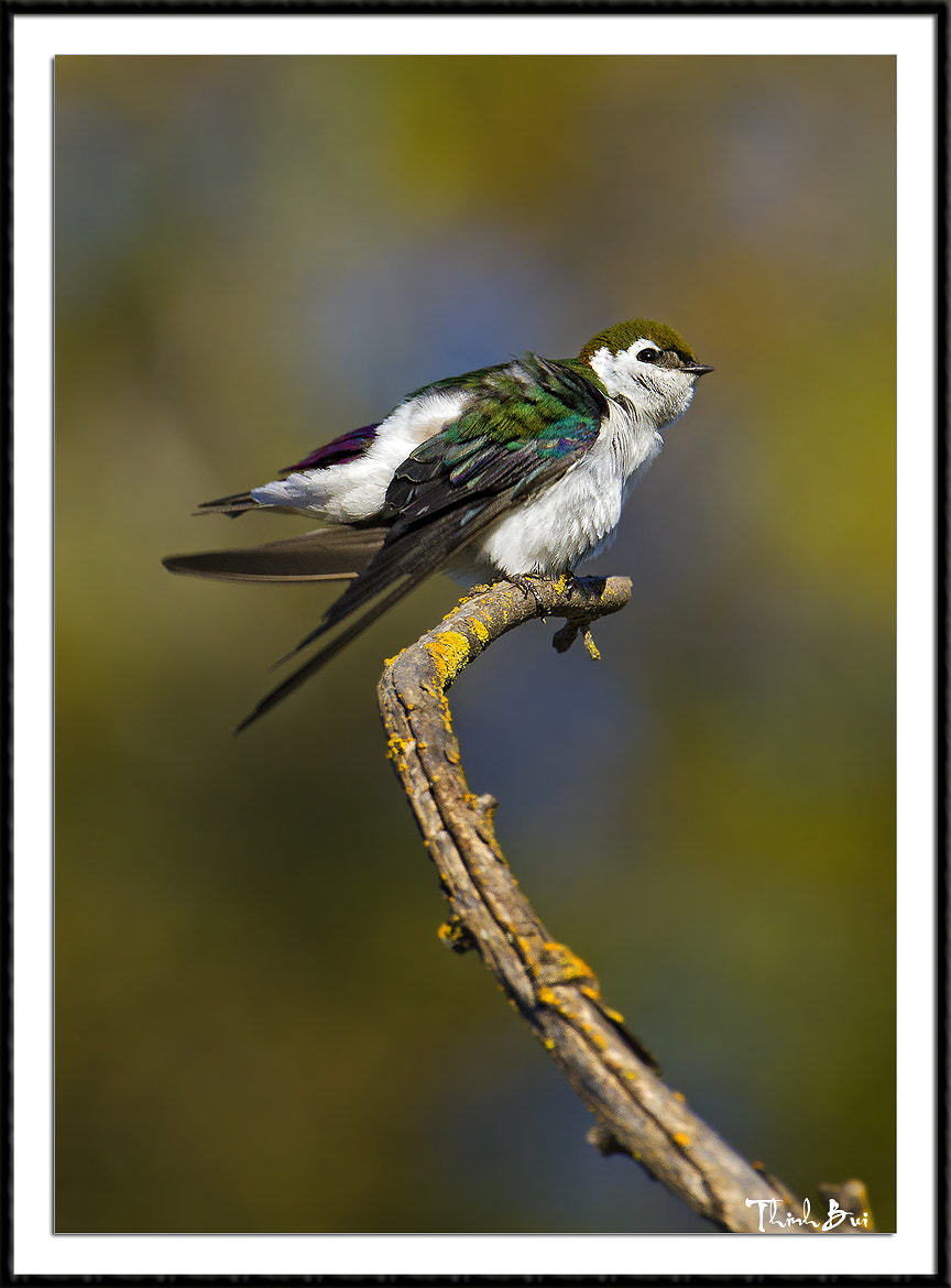 Photograph Green Violet Swallow by Thinh Bui on 500px