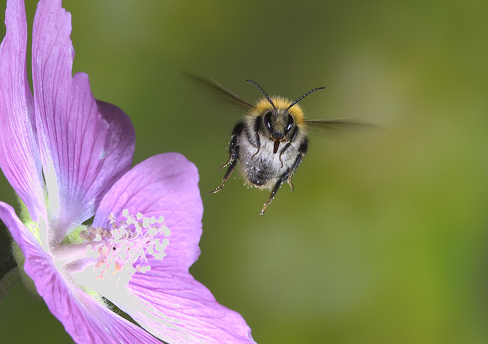 Photograph The flight of a Bumble Bee by Dale Sutton on 500px