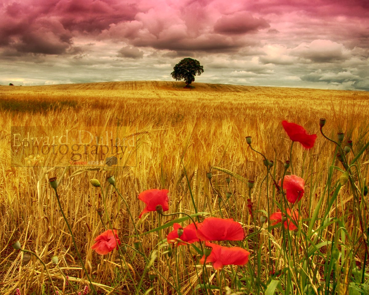 Photograph Poppies in a field of gold. by EDWARD DULLARD on 500px