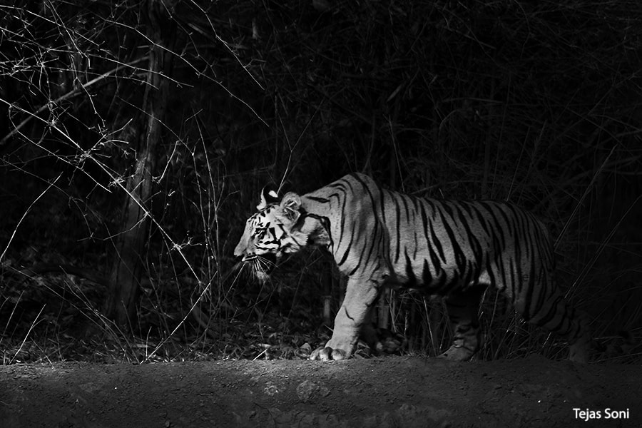 Photograph Tiger cub at Tadoba Tiger reserve by Tejas Soni on 500px