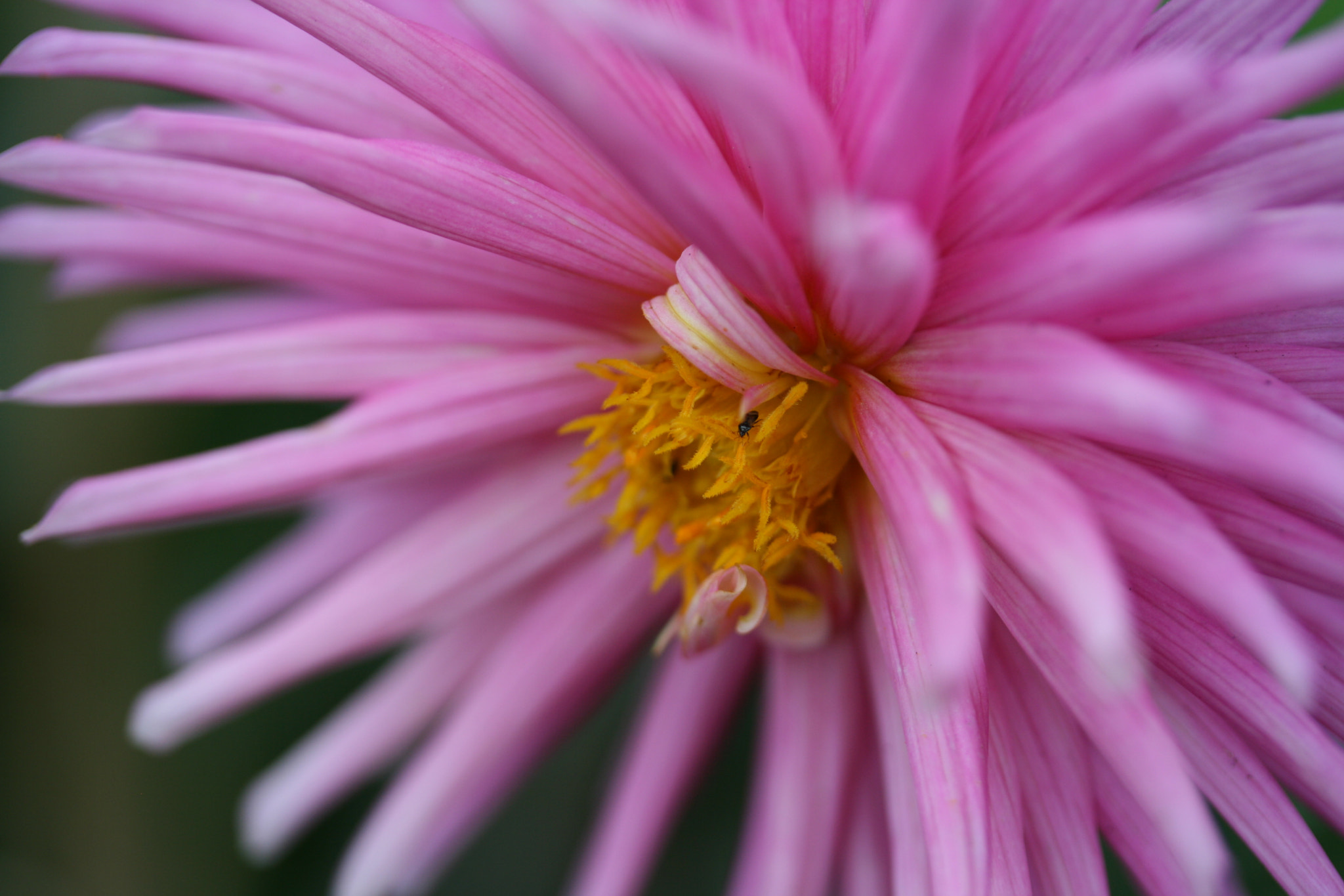 Photograph Pink Punk Flower by Suzy Shipman on 500px