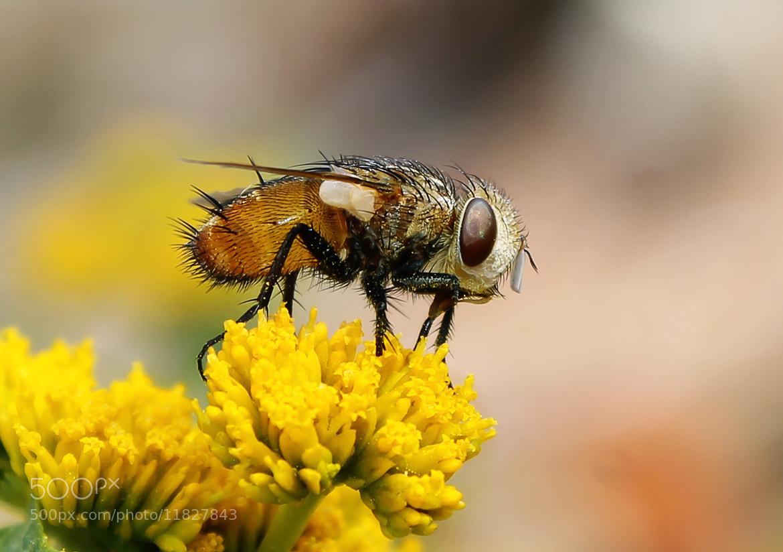 Photograph Fly Mutuca - Mosca Mutuca by Novais Almeida on 500px