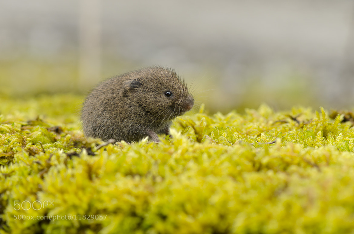 Photograph Short tailed vole by Elinor James on 500px