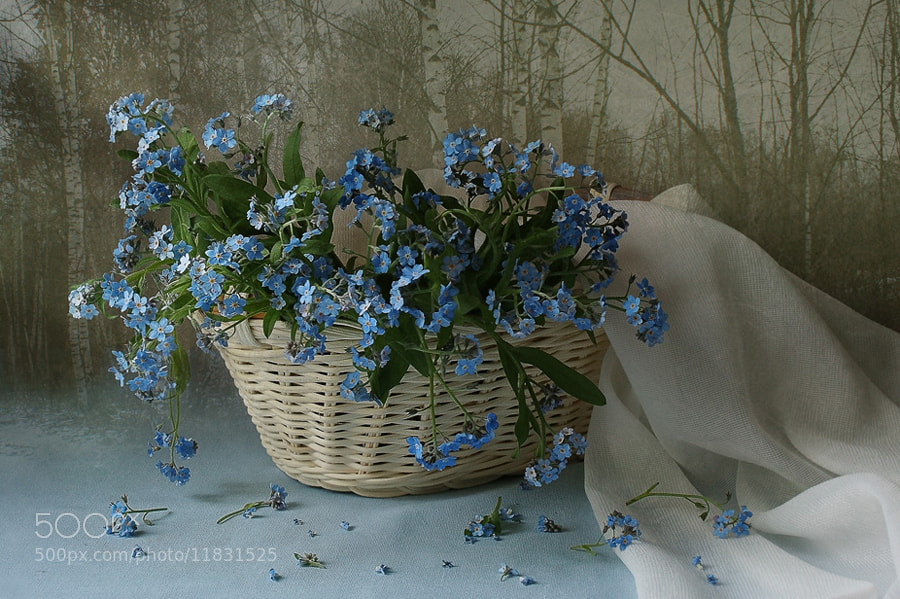 Photograph Forget-me-not by Elena Kolesneva on 500px